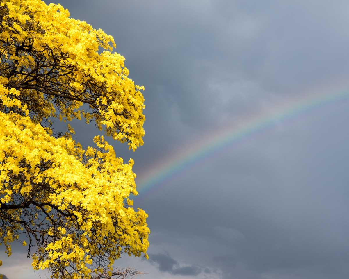El amarillo del Guayacán compite con el arcoiris; Mangahurco, Ecuador | ©Angela Drake