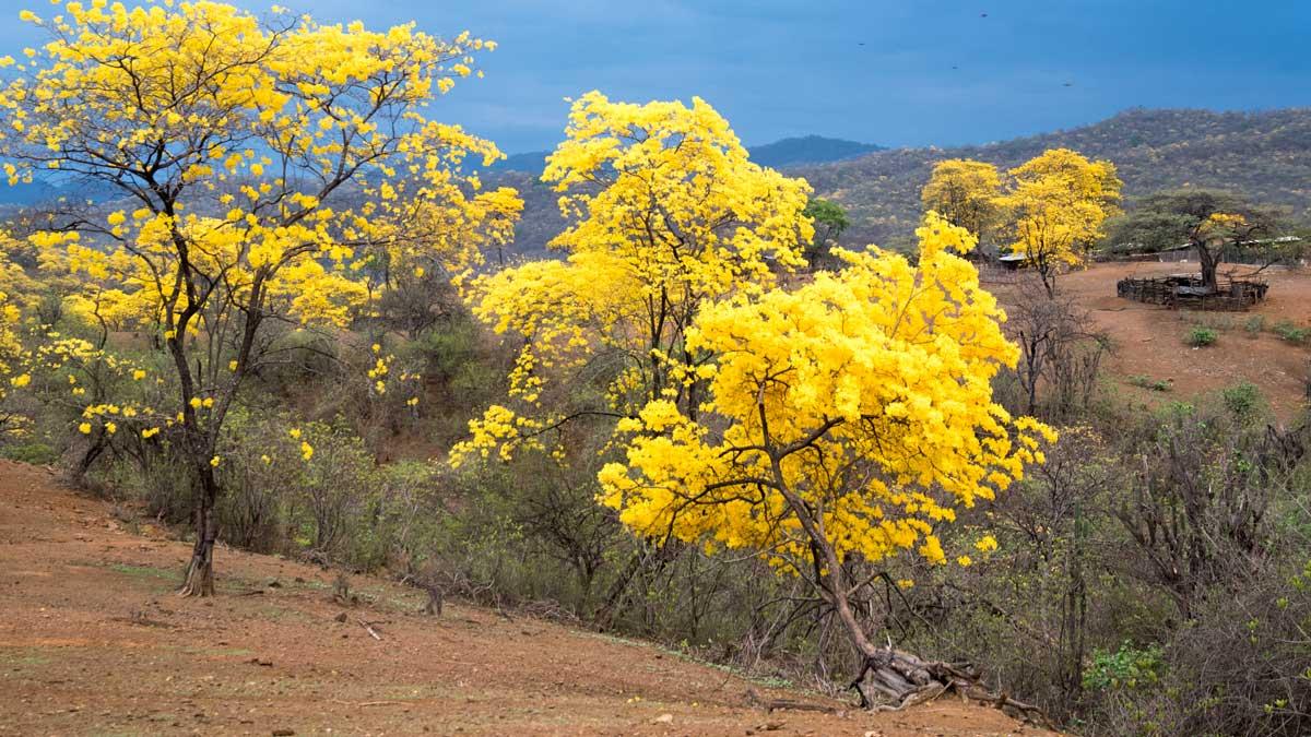 Un Guayacán Amarillo Brillante; Cazaderos, Ecuador | ©Angela Drake