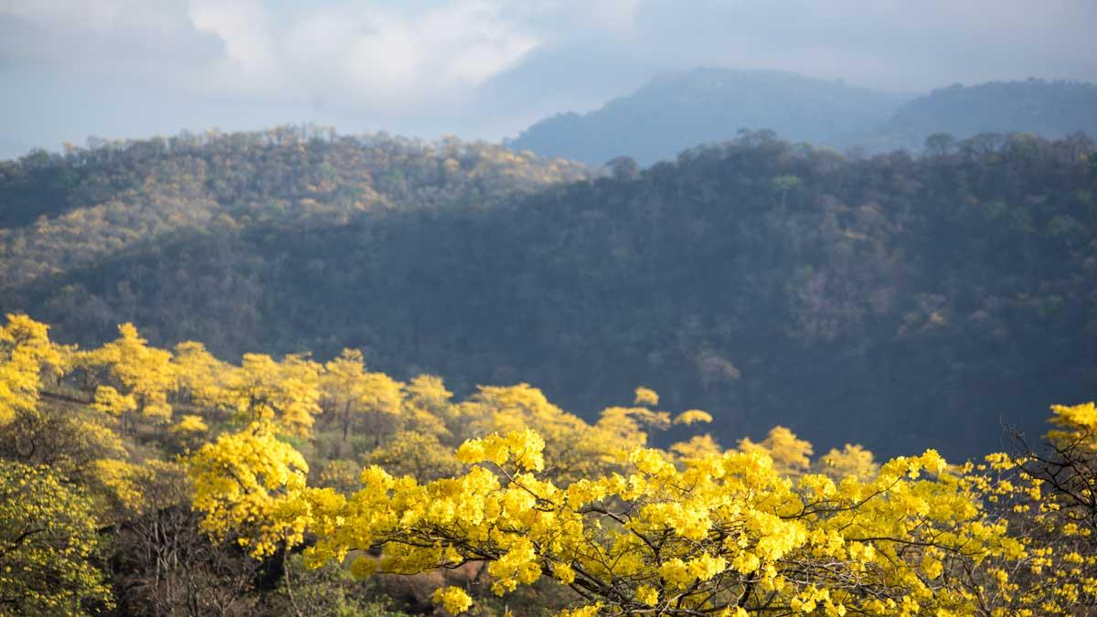 Guayacanes y el bosque seco; Mangahurco, Ecuador | ©Angela Drake