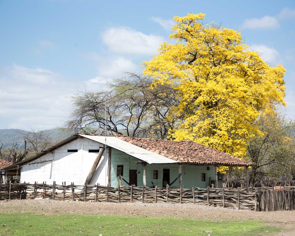 Una casita con Guayacán florido; Cazaderos, Ecuador | ©Angela Drake