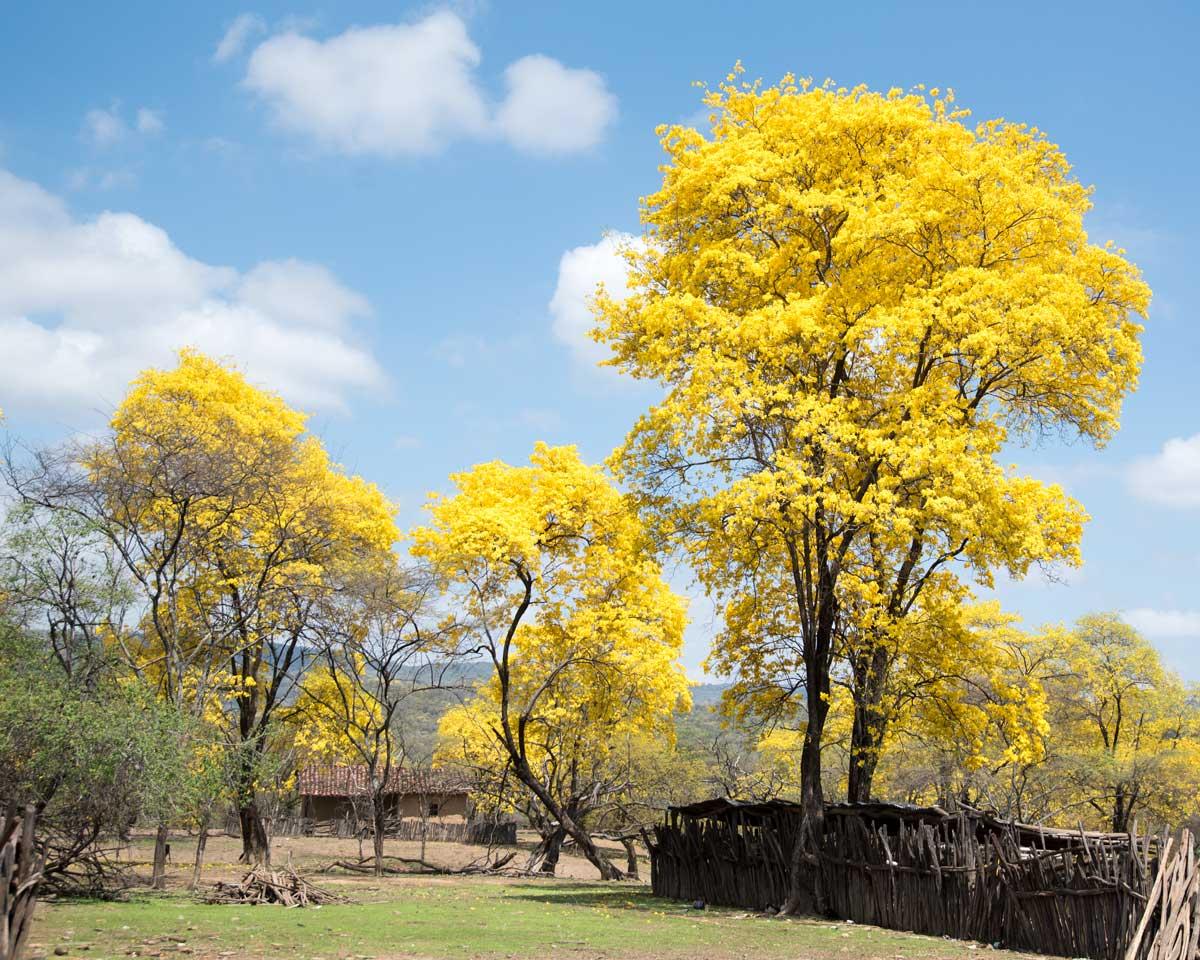 Los Guayacanes de Cazaderos, Ecuador | ©Angela Drake