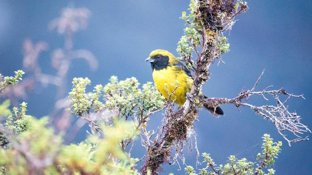 The Best Birding Around Papallacta, Ecuador