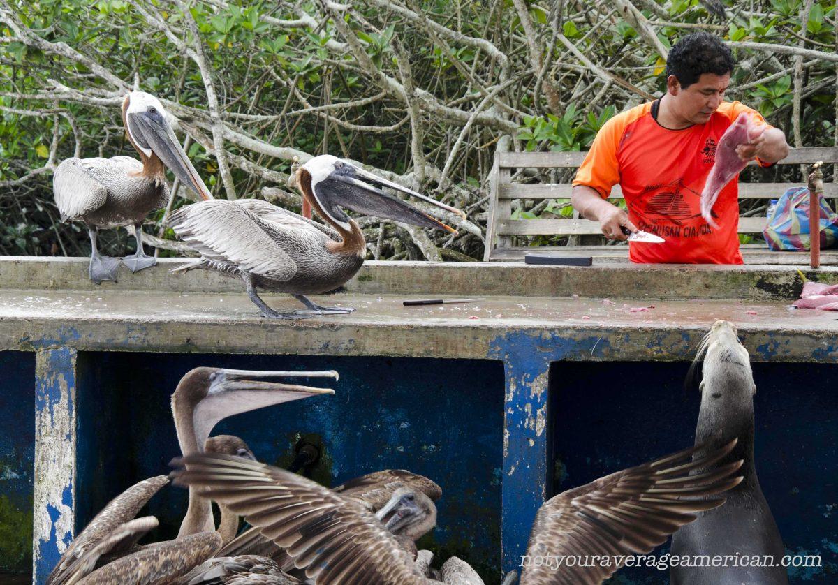 Feeding Frenzy at Galapagos Fish Market