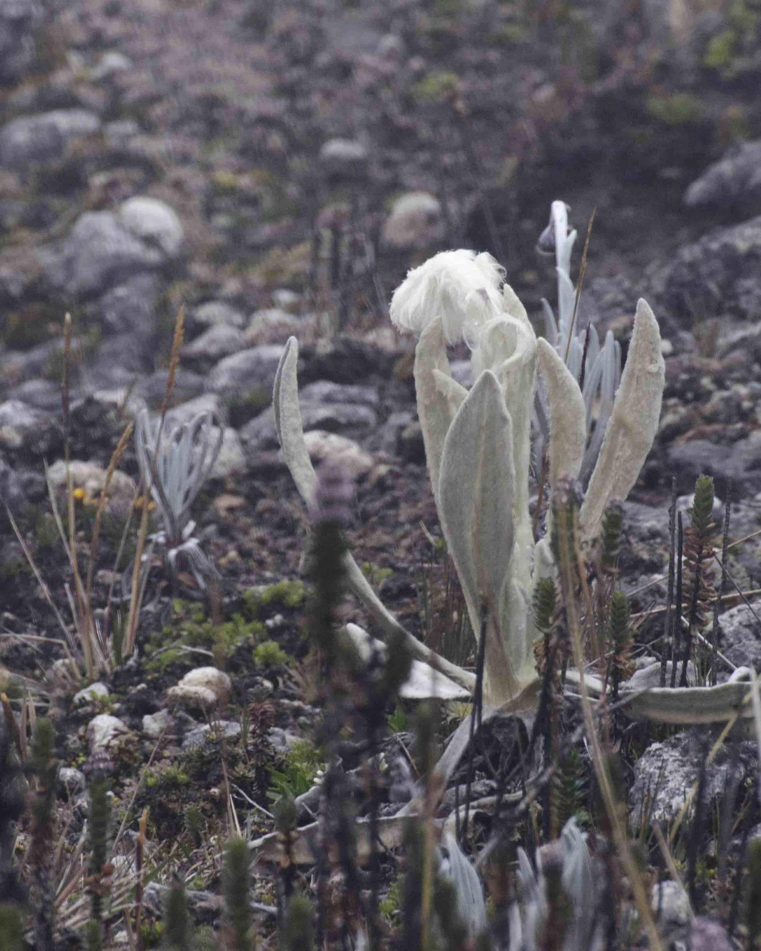 Senecio, un flor del paramo