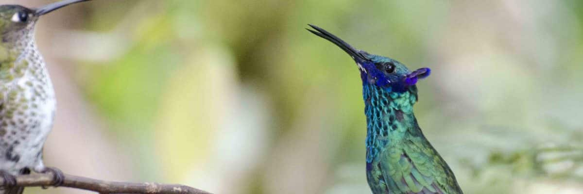 Ecuadorian Hummingbirds