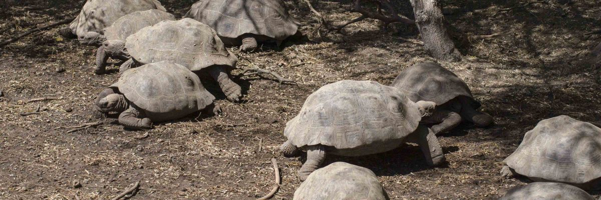 Tortoise Hatchery – Isla Isabela