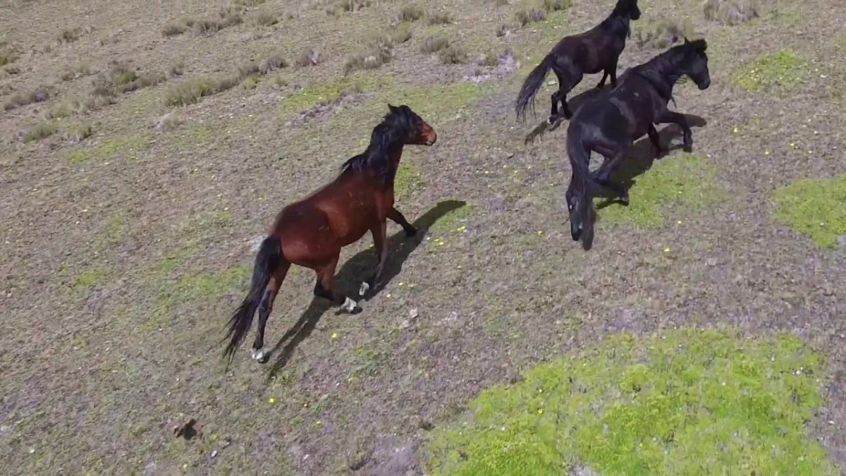 The Wild Horses of Cotopaxi