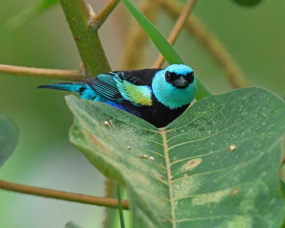 Blue-necked Tanager, La Bikok Ecolodge, Mindo, Ecuador | ©Nikolai Ullman