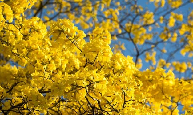Flowering Forests of Gold Arrive With the New Year