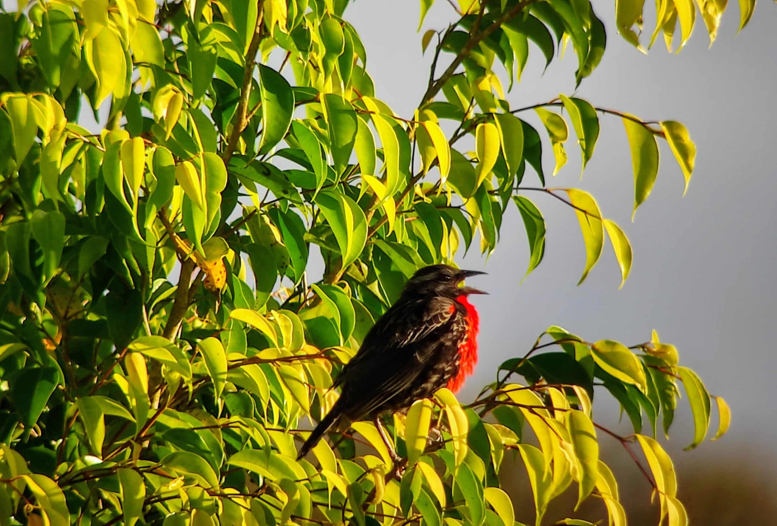 Red-breasted Meadowlark, Napo Province ©Jacqueline Granda