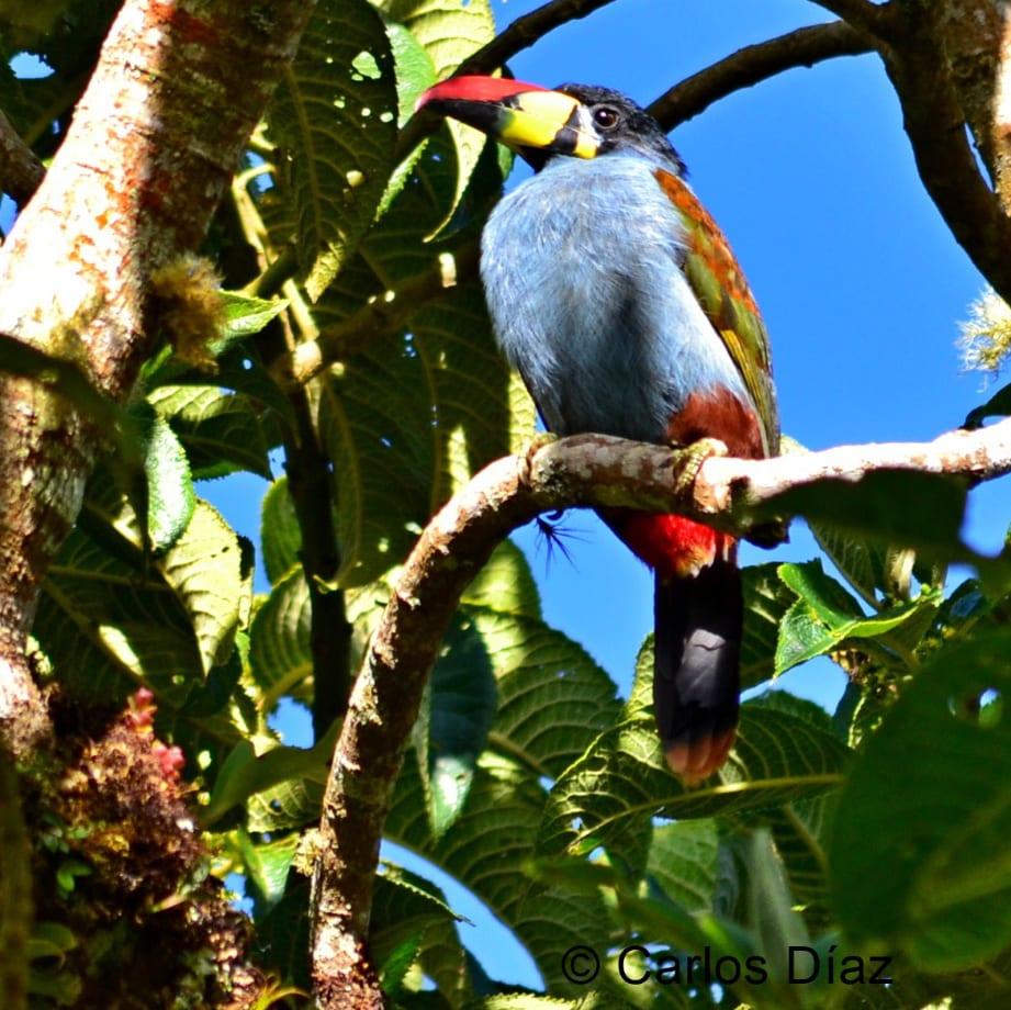 Tucán Andino Pechigrís posado en una rama