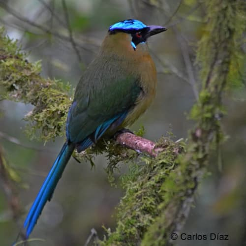 A Motmot perched on a branch