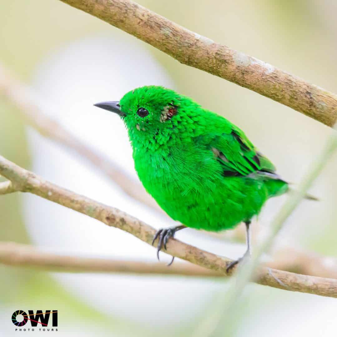 Glistening-green Tanager| ©Oswaldo Ponce